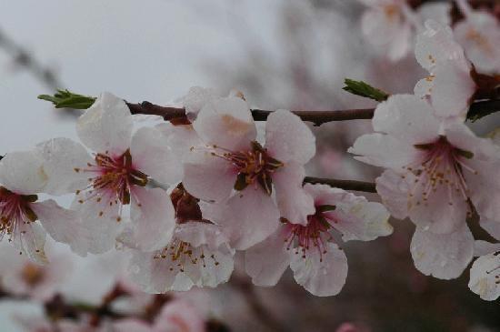 שמן פרח השקד