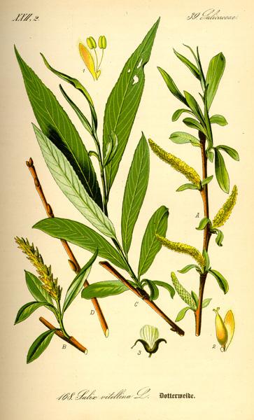ערבה לבנה -צמח מרפא