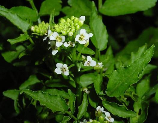 צמחי מרפא -גרגיר הנחלים