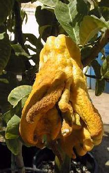 אתרוג -פרי עץ הדר