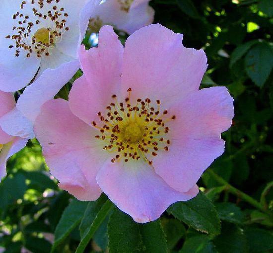 צמח מרפא -ורד הכלב