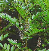 צמח מרפא שוש קרח
