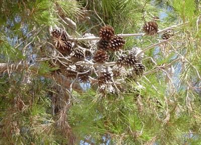 צמח מרפא- האורן