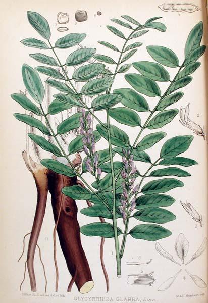 צמחי מרפא-שוש קרח